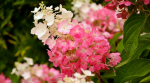 Hortensja bukietowa- ciekawe odmiany i uprawa
