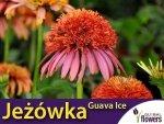 Jeżówka ' Guava Ice ' (Echinacea) Sadzonka