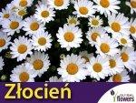 Złocień karłowy, biały (Chrysanthemum paludosum) 0,2g