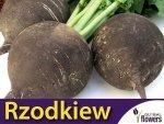 Rzodkiew zimowa Runder, czarna (Raphanus sativus var. niger) XL 100g