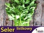 Seler Listkowy Green Cutting (Apium graveolens) XXL 1000g