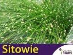 Sitowie zielone (Scirpus) nasiona 0,01