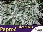Paproć Wietlica 'Silver Falls' (Athyrium nipponicum var.pictum) Sadzonka