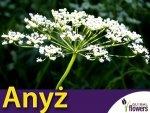 Anyż, Biedrzeniec (Pimpinella anisum) 1g