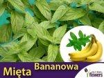 Mięta Bananowa (Mentha arvensis Banana) Sadzonka