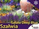 Szałwia 'Salute Deep Blue' (Salvia nemorosa) Sadzonka