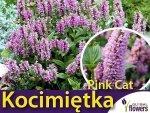 Kocimiętka 'Pink Cat' (Nepeta nervosa) Sadzonka