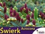Świerk pospolity 'Acrocona' (Picea abies) sadzonka szczepiona