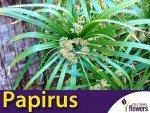 Papirus zielony, Cibora (Cyperus alternifolius) 0,01g