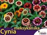 Cynia meksykańska, mieszanka (Zinnia haageana) 0,5g
