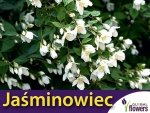 Jaśminowiec 'Lemoinei' (Philadelphus) Sadzonka C3