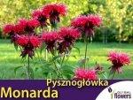 Monarda, Pysznogłówka dwoista (Monarda didyma) 0,1g Nasiona