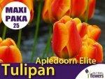 MAXI PAKA 25 szt Tulipan Darwina 'Apledoorn Elite' (Tulipa) CEBULKI