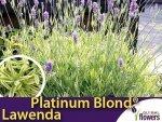Lawenda PLATINUM BLOND (Lavandula angustifolia 'Momparler') Sadzonka C1,5