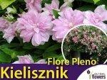 Kielisznik bluszczowaty 'Flore Pleno' (Calystegia hederacea) Sadzonka