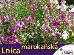 Lnica marokańska, mieszanka (linaria maroccana) 0,5g, nasiona