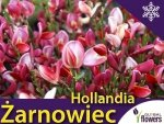 Żarnowiec 'Hollandia' (Cytisus) Sadzonka