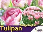 Tulipan Pełny 'Angelique' (Tulipa) CEBULKI