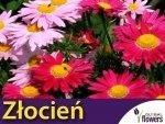 Złocień różowy, mieszanka (Chrysanthemum coccineum) 0,3g Nasiona