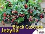Jeżyna bezkolcowa 'Black Cascade' (Rubus fruticosa) Sadzonka