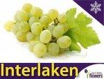 Winorośl Interlaken Sadzonka - odmiana bezpestkowa Vitis 'Interlaken'