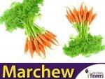 Marchew Pierwszy Zbiór Wczesna (Daucus carota) XL 100g