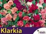 Klarkia, Dzierotka mieszanka(Clarkia elegants) 1g, nasiona
