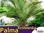 Palma Królewska (Phoenix Canariensis) 5 nasion