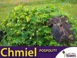 Chmiel pospolity (Humulus lupulus) Sadzonka C2