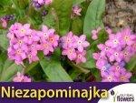 Niezapominajka alpejska różowa (Myosotis alpestris) 0,30 g Nasiona