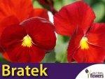 Bratek Szwajcarski Wielkokwiatowy 'Red' (Viola x Wittrockiana) 0,3g Nasiona