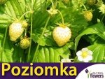 Poziomka Yellow Wonder (Fragaria vesca) 0,1g