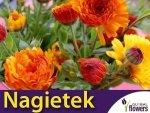 Nagietek lekarski, mieszanka (Calendula officinalis) 3g, nasiona
