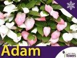 Aktinidia pstrolistna Sadzonka Kiwi Adam - odmiana zapylająca