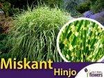 Miskant 'Hinjo' (Miscanthus Hinjo) Sadzonka