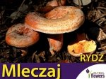Grzybnia Mleczaj rydz Lactarius deliciosus ziarno 10g