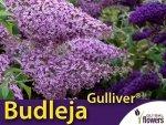 Budleja davidii 'Gulliwer PBR' Wielkie kwiaty (Budleja davidii) Sadzonka