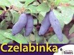 Jagoda Kamczacka Sadzonka - odmiana Czelabinka