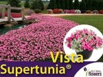 Supertunia® Vista 'Bubblegum' Sadzonka