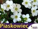Piaskowiec biały (Arenaria montana) 0,1g Nasiona
