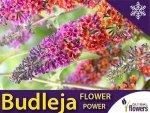 Budleja 'Flower Power' (Buddleia) Rarytas ! Duża Sadzonka C2