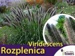 Rozplenica japońska 'Viridescens' (Pennisetum alopecuroides) - Sadzonka