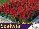 Szałwia błyszcząca, czerwona (Salvia splendts) 0,5g, Nasiona