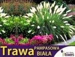 Trawa pampasowa biała (Cortaderia selloana) 0,03g