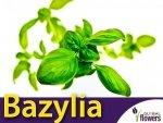 Bazylia właściwa zielonolistna (Ocimum basilicum)