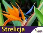 Strelicja Rajski Ptak (Strelitzia reginae Ait)