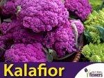 Kalafior Di Sicilia violetto Fioletowy (Brassica oleracea convar.) 1g