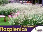 Rozplenica japońska Hameln  Sadzonka (Pennisetum alopecuroides)