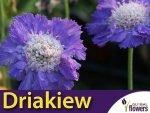 Driakiew kaukaska, niebieska (Sabiosa caucasica) 0,3g Nasiona