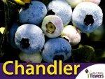 Borówka Amerykańska Sadzonka 2 letnia - odmiana Chandler